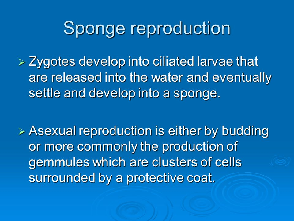 Sponge reproduction  Zygotes develop into ciliated larvae that are released into the water and eventually settle and develop into a sponge.  Asexual