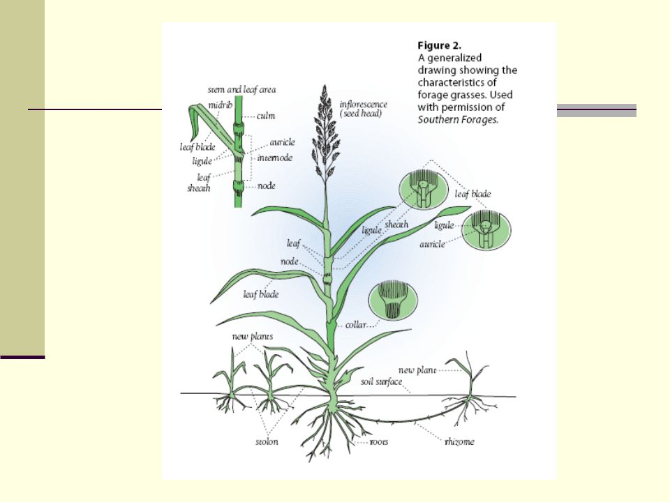Tall Fescue Festuca arundinacea Cool season perennial Bunchgrass (short rhizomes) Coarse, tough roots Ribbed leaves (serrated edges) Auricles blunt with fine hairs Short membranous ligule Seedhead = branched panicle with elliptical spikelets Seeds have a short awn Collar of tall fescue