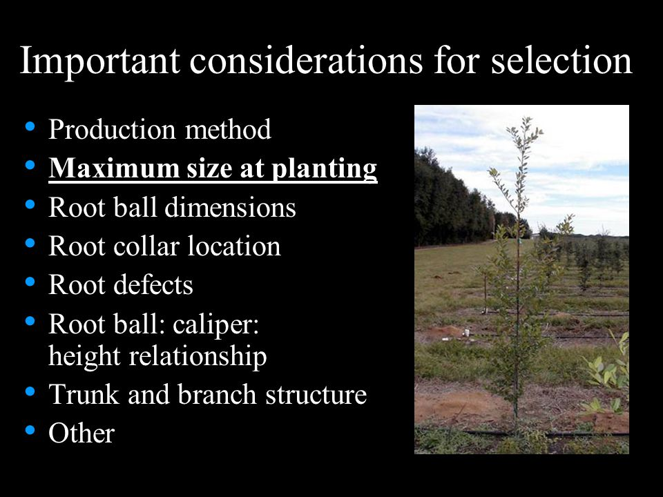 Important considerations for selection Production method Maximum size at planting Root ball dimensions Root collar location Root defects Root ball: ca