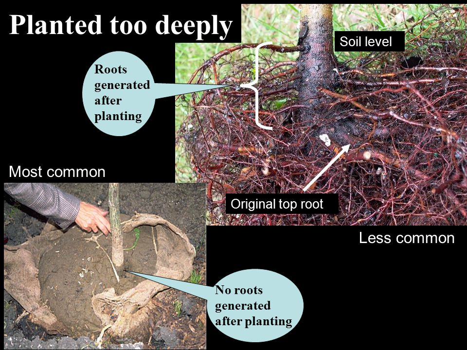Roots generated after planting Planted too deeply Original top root Most common Less common No roots generated after planting Soil level