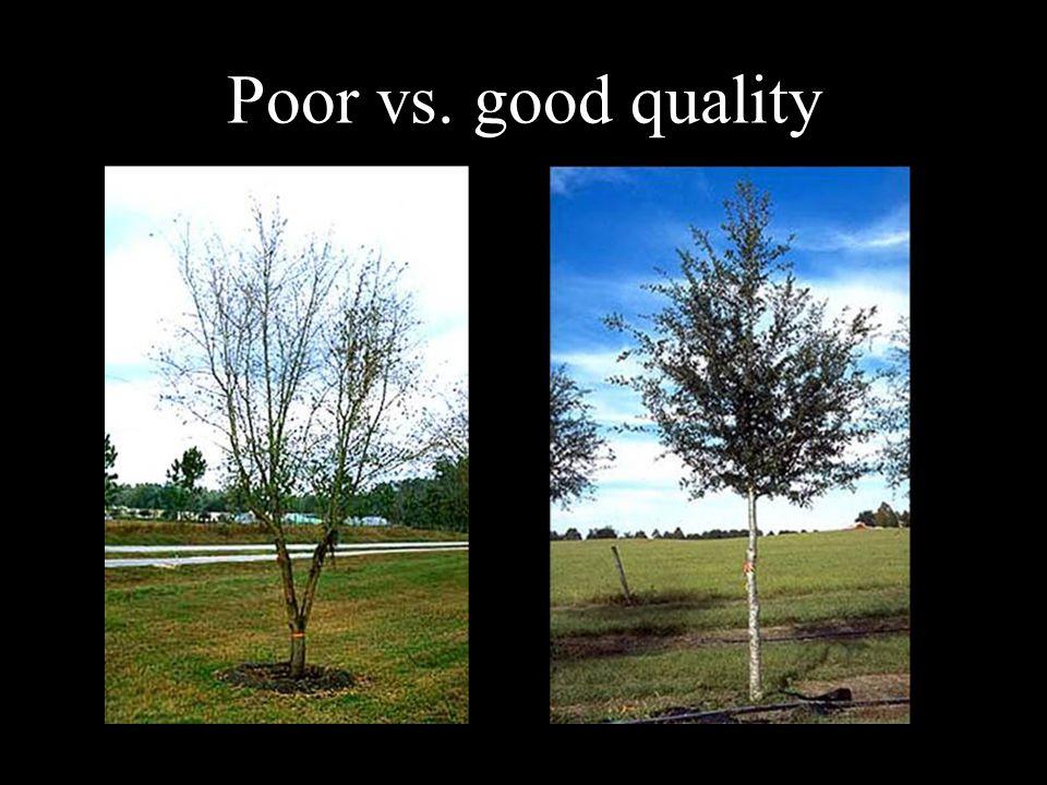 Canopy uniformity and fullness Good uniformity and fullness Poor uniformity and fullness