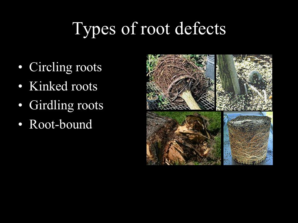 Types of root defects Circling roots Kinked roots Girdling roots Root-bound