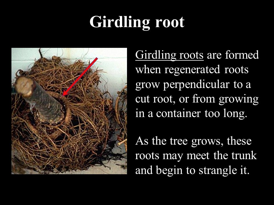 Girdling root Girdling roots are formed when regenerated roots grow perpendicular to a cut root, or from growing in a container too long. As the tree