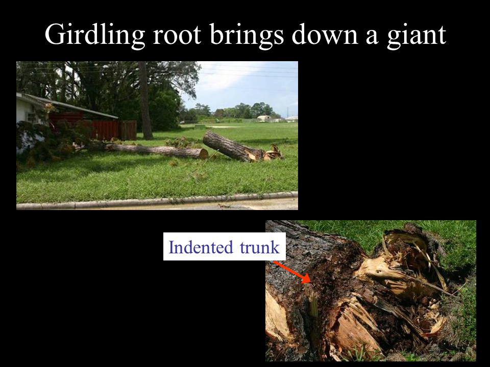 Girdling root brings down a giant Indented trunk