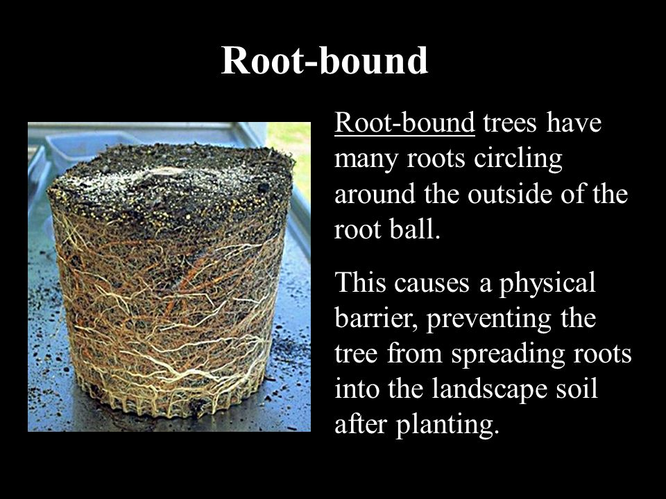 Root-bound Root-bound trees have many roots circling around the outside of the root ball. This causes a physical barrier, preventing the tree from spr