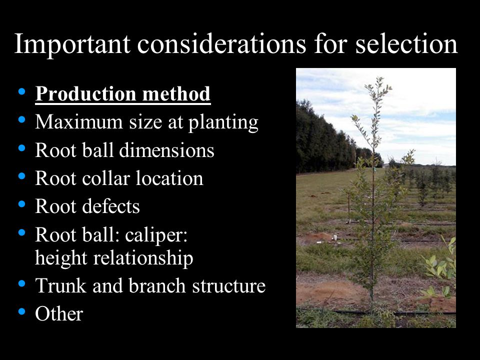 Important considerations for selection Production method Maximum size at planting Root ball dimensions Root collar location Root defects Root ball: caliper: height relationship Trunk and branch structure Other