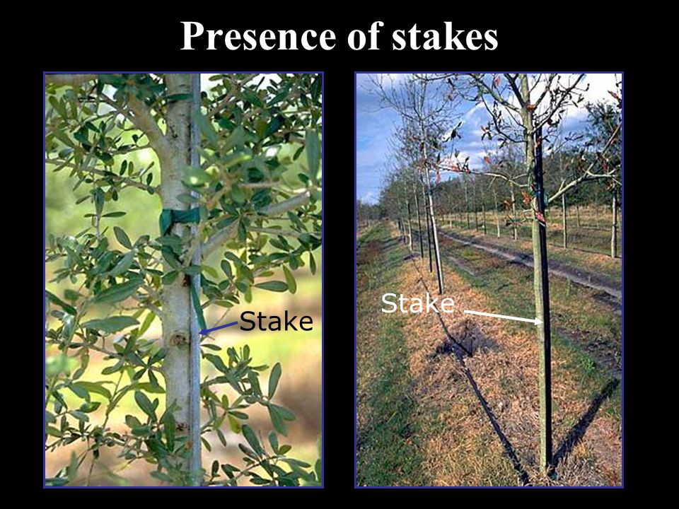 Presence of stakes Stake