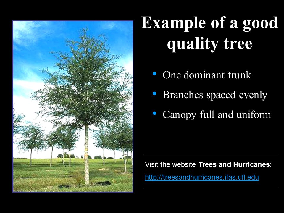 Example of a good quality tree One dominant trunk Branches spaced evenly Canopy full and uniform Visit the website Trees and Hurricanes: http://treesa