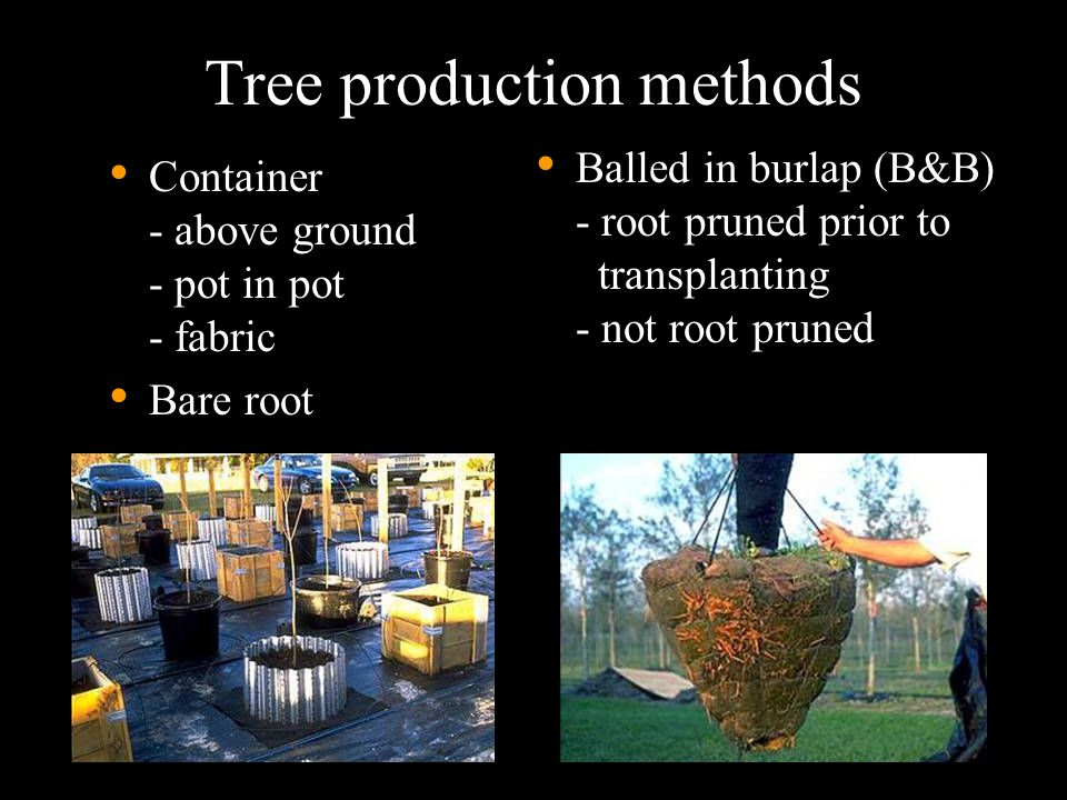 Selecting the right tree size Irrigation capabilities: When irrigation is limited… Site drainage: If drainage is poor… Weed control and mulch management: If weeds are not controlled and compete with tree for water… …then select small nursery stock such as 1.5 to 3 inch caliper trees.