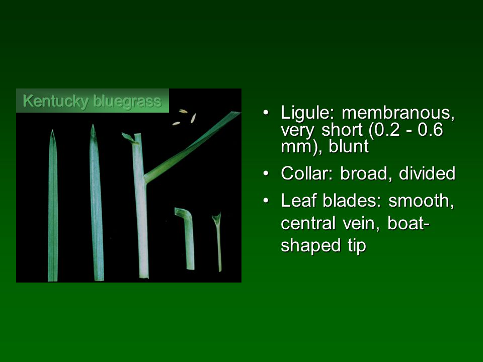 Ligule: membranous, very short (0.2 - 0.6 mm), bluntLigule: membranous, very short (0.2 - 0.6 mm), blunt Collar: broad, dividedCollar: broad, divided