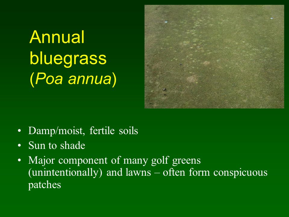 Annual bluegrass (Poa annua) Damp/moist, fertile soils Sun to shade Major component of many golf greens (unintentionally) and lawns – often form consp
