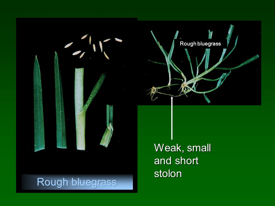 Weak, small and short stolon Rough bluegrass