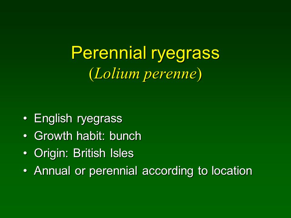 Perennial ryegrass (Lolium perenne) English ryegrassEnglish ryegrass Growth habit: bunchGrowth habit: bunch Origin: British IslesOrigin: British Isles