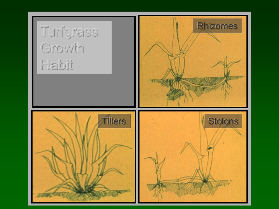 Growth Habit Bunch: spread by tilleringBunch: spread by tillering –Uniformity is problem long term or at low seeding rates –Tall, Chewings and Hard Fescues, and Annual and Perennial Ryegrasses