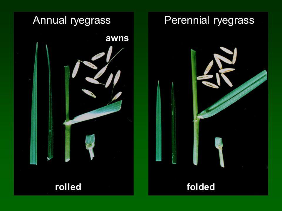 awns foldedrolled Annual ryegrassPerennial ryegrass