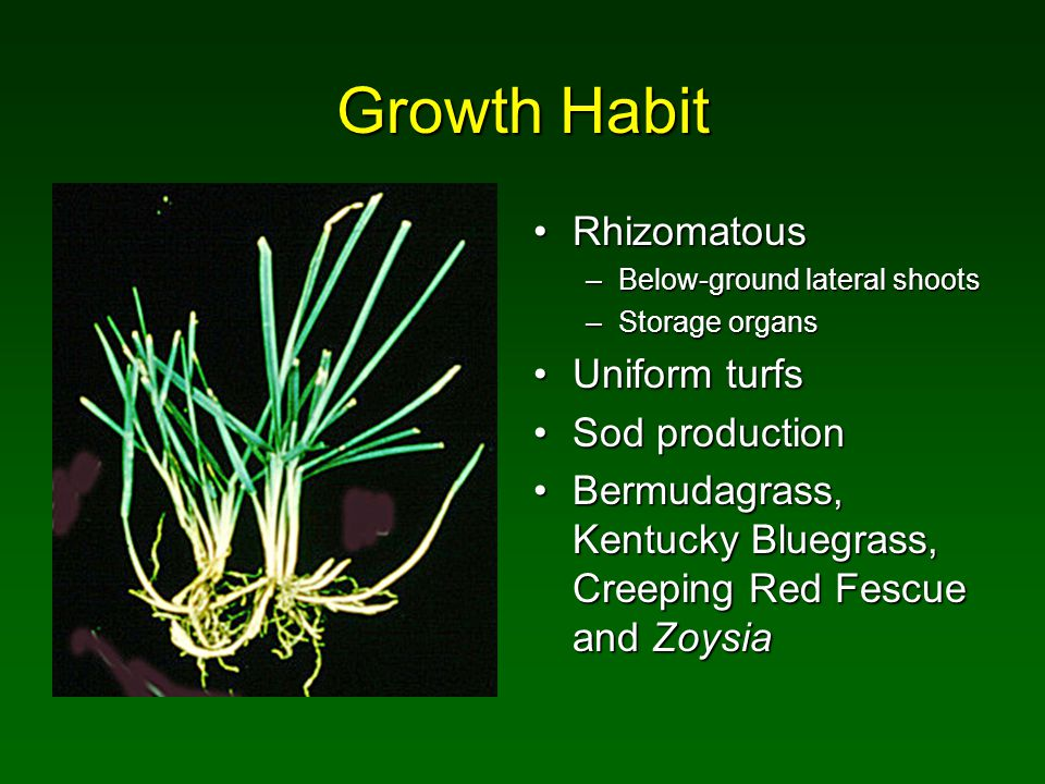 Growth Habit StoloniferousStoloniferous –Above-ground lateral shoots –Foraging organ; grow faster than rhizomes Uniform turfsUniform turfs –Close mowing preferred Sod productionSod production Bermudagrass and ZoysiaBermudagrass and Zoysia