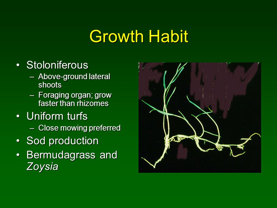 Growth Habit StoloniferousStoloniferous –Above-ground lateral shoots –Foraging organ; grow faster than rhizomes Uniform turfsUniform turfs –Close mowi