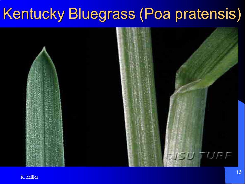 R. Miller 13 Kentucky Bluegrass (Poa pratensis)