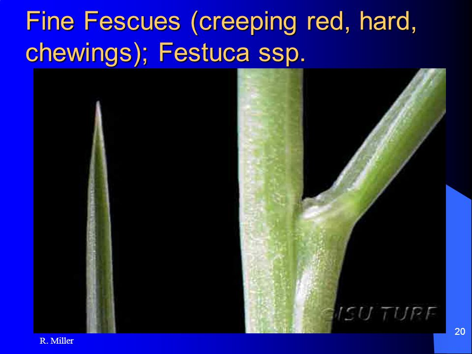 R. Miller 20 Fine Fescues (creeping red, hard, chewings); Festuca ssp.