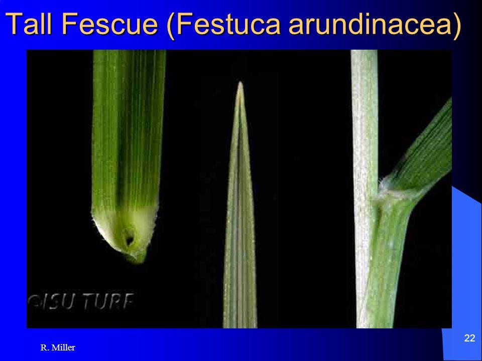 R. Miller 22 Tall Fescue (Festuca arundinacea)