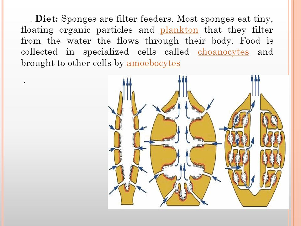 Diet: Sponges are filter feeders.