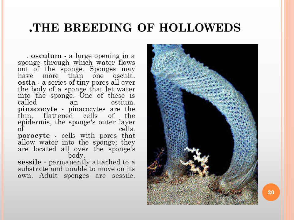 THE BREEDING OF HOLLOWEDS.
