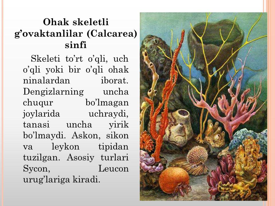 Skeleti to'rt o'qli, uch o'qli yoki bir o'qli ohak ninalardan iborat.