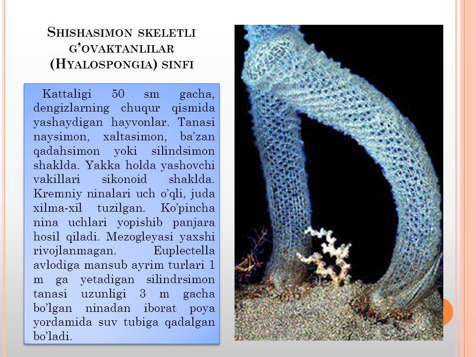 S HISHASIMON SKELETLI G ' OVAKTANLILAR (H YALOSPONGIA ) SINFI Kattaligi 50 sm gacha, dengizlarning chuqur qismida yashaydigan hayvonlar.