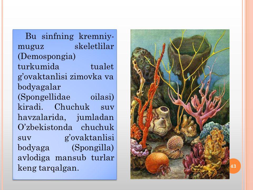Bu sinfning kremniy- muguz skeletlilar (Demospongia) turkumida tualet g'ovaktanlisi zimovka va bodyagalar (Spongellidae oilasi) kiradi.