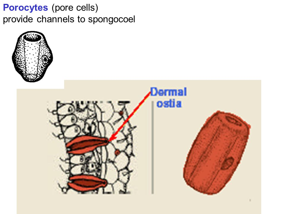 Porocytes (pore cells) provide channels to spongocoel