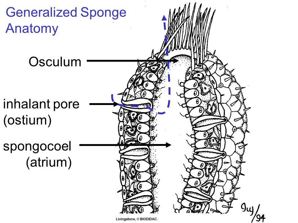 Osculum spongocoel (atrium) Generalized Sponge Anatomy inhalant pore (ostium)