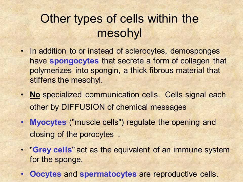 Other types of cells within the mesohyl In addition to or instead of sclerocytes, demosponges have spongocytes that secrete a form of collagen that polymerizes into spongin, a thick fibrous material that stiffens the mesohyl.