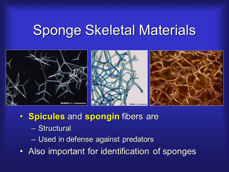 Sponge Skeletal Materials Spicules and spongin fibers areSpicules and spongin fibers are –Structural –Used in defense against predators Also important for identification of spongesAlso important for identification of sponges