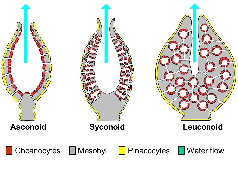 ChoanocytesMesohylWater flow AsconoidSyconoidLeuconoid Pinacocytes