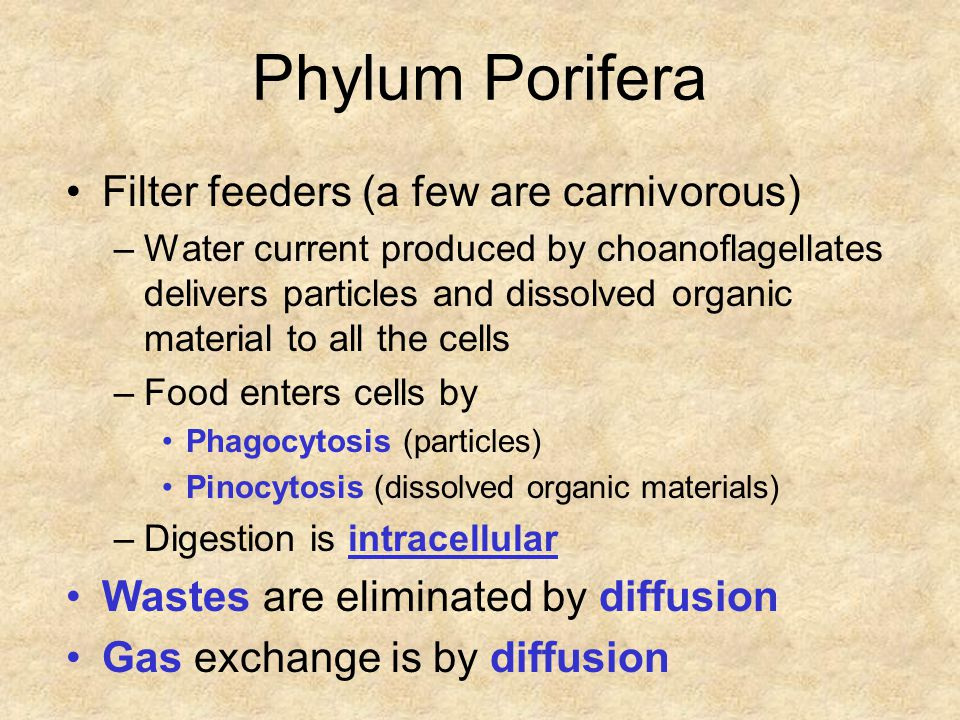 Phylum Porifera Filter feeders (a few are carnivorous) –Water current produced by choanoflagellates delivers particles and dissolved organic material to all the cells –Food enters cells by Phagocytosis (particles) Pinocytosis (dissolved organic materials) –Digestion is intracellular Wastes are eliminated by diffusion Gas exchange is by diffusion