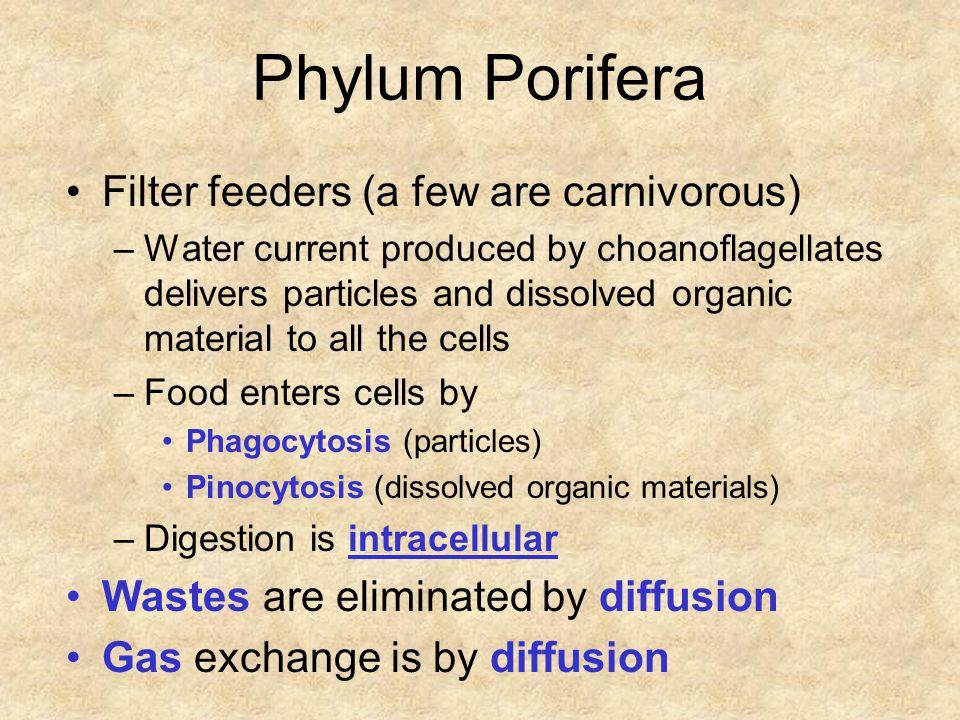 Classification Subphylum: Cellularia –Class: Calcarea Spicules made of calcium carbonate