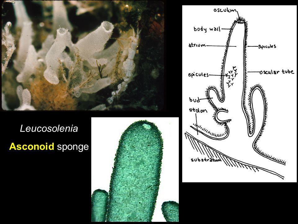 Leucosolenia Asconoid sponge