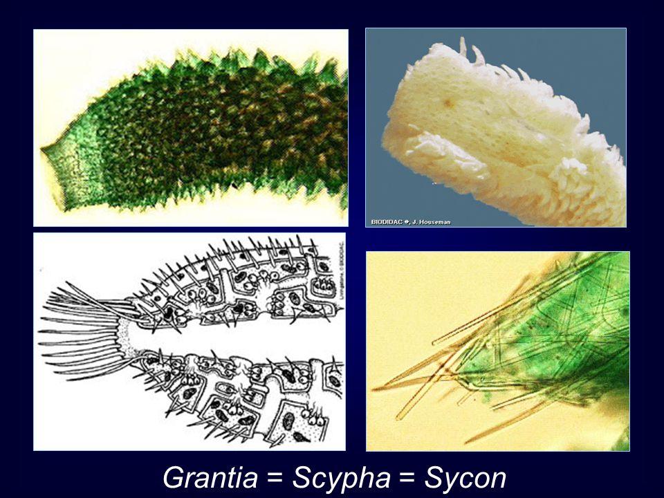 Grantia = Scypha = Sycon