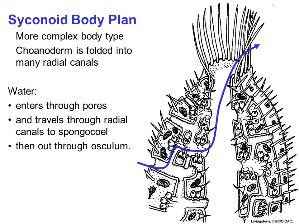 Syconoid Body Plan More complex body type Choanoderm is folded into many radial canals Water: enters through pores and travels through radial canals to spongocoel then out through osculum.