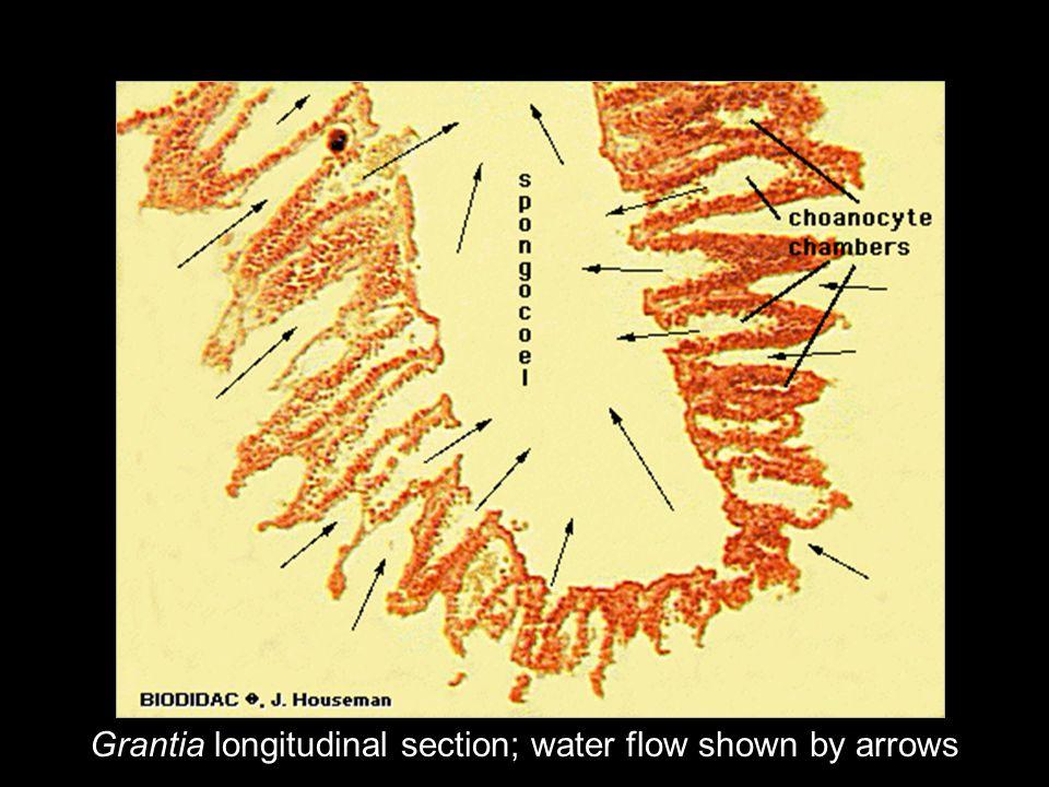 Grantia longitudinal section; water flow shown by arrows