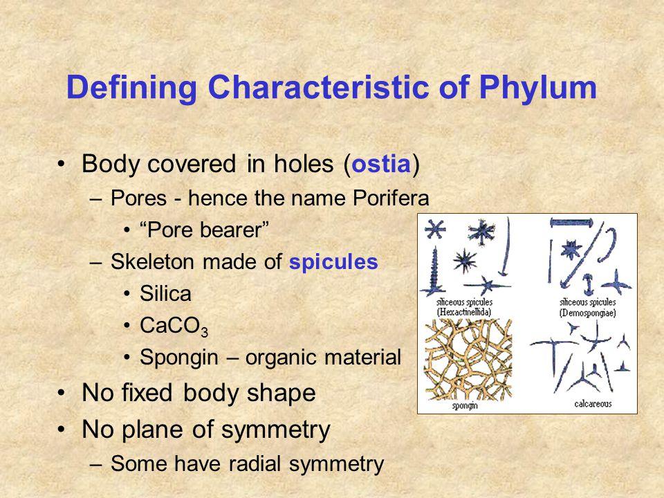 SP Cellularia (Class Calcarea)