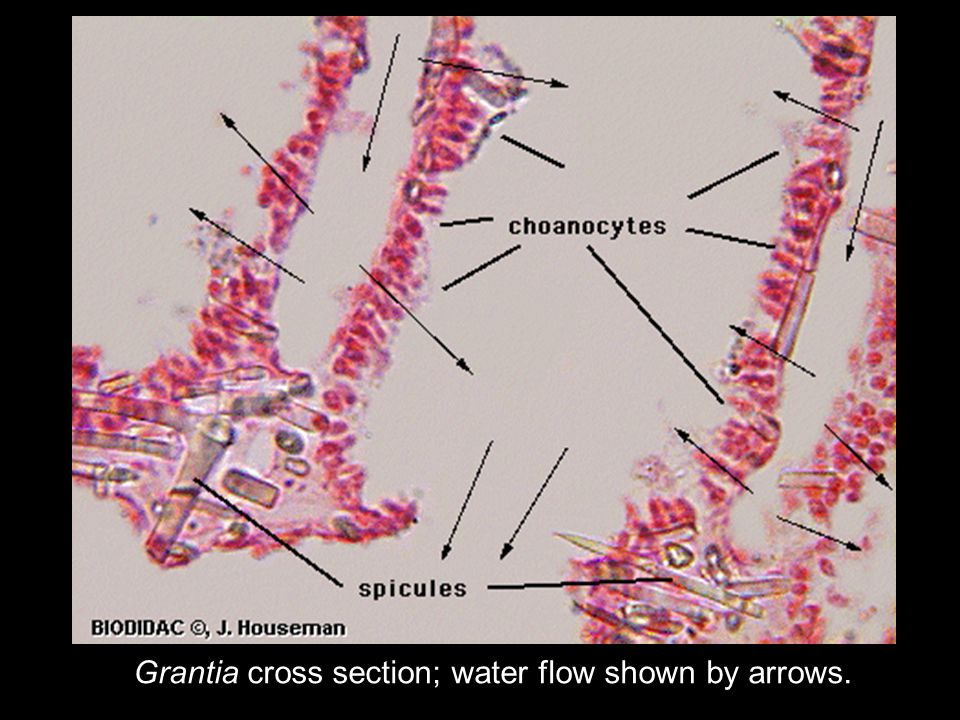 Grantia cross section; water flow shown by arrows.