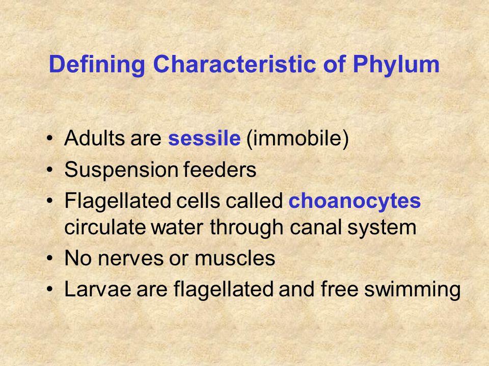 Grantia = Scypha = Sycon See following slides for anatomy