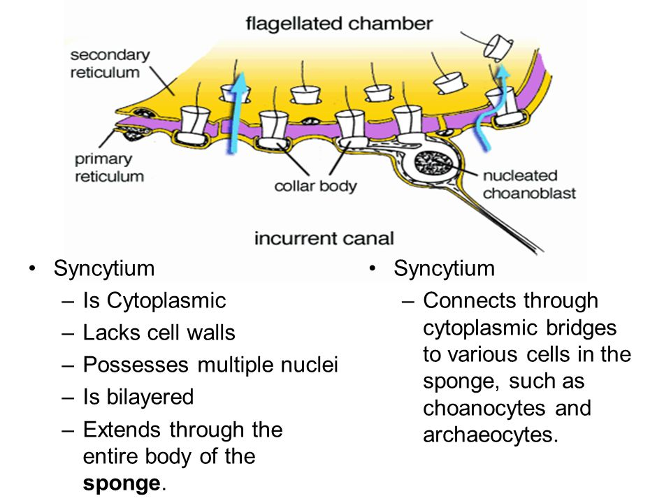 Syncytium –Is Cytoplasmic –Lacks cell walls –Possesses multiple nuclei –Is bilayered –Extends through the entire body of the sponge.