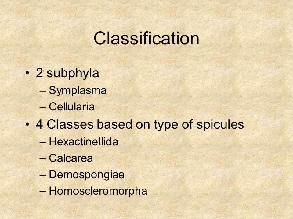 Classification 2 subphyla –Symplasma –Cellularia 4 Classes based on type of spicules –Hexactinellida –Calcarea –Demospongiae –Homoscleromorpha