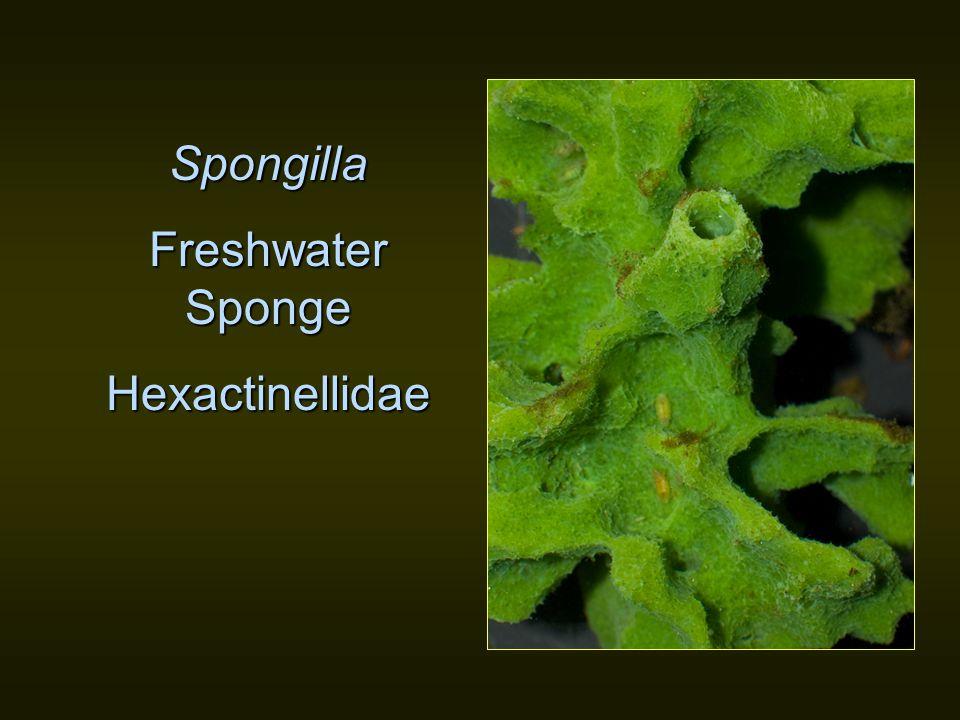 Spongilla Freshwater Sponge Hexactinellidae