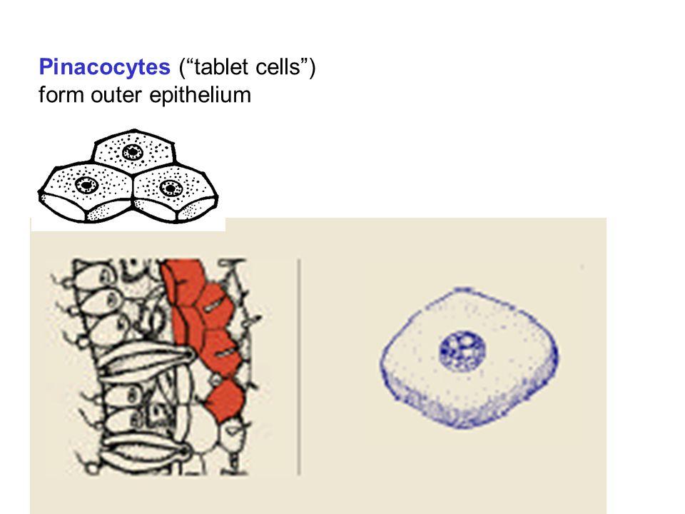 Trabecular Syncytium Cytoplasm within the syncytium flows bidirectionally.