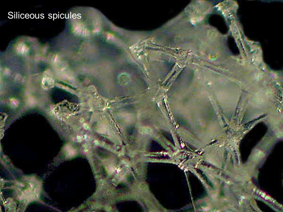 Siliceous spicules