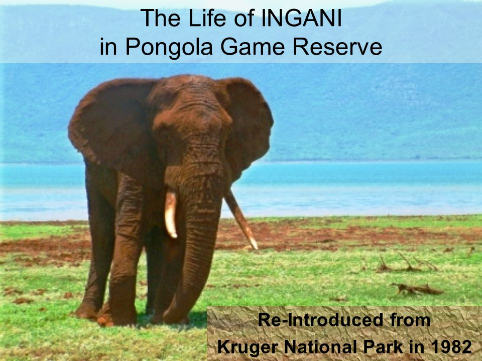 The Life of INGANI in Pongola Game Reserve Re-Introduced from Kruger National Park in 1982