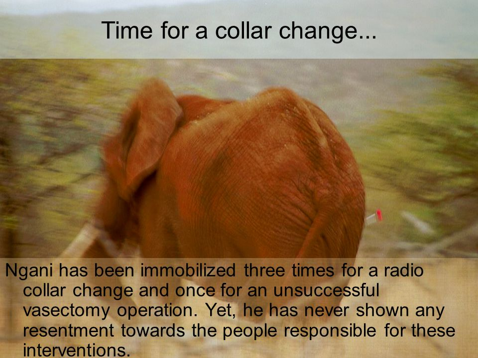 Time for a collar change... Ngani has been immobilized three times for a radio collar change and once for an unsuccessful vasectomy operation. Yet, he